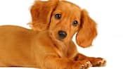 A caramel colored dachshund puppy looking at the camera