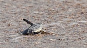 A baby sea turtle paddles into a film of ocean water washing onto the sand