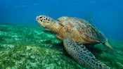 Loggerhead sea turtle swimming near sea grasses