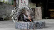 A crested porcupine eating a carrot