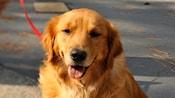 Un perro Golden Retriever con correa