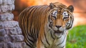 Tigre asiático aprecia a vista enquanto se movimenta próximo a um canto no Disney's Animal Kingdom Park