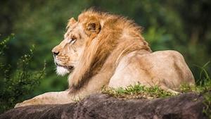 An African lion resting atop a grassy rock during a safari tour at Disney's Animal Kingdom park