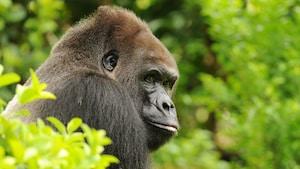 Gorila-ocidental-das-terras-baixas da Gorilla Falls Expedition Trail no Disney's Animal Kingdom Park