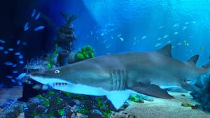 Um grande tubarão nada ao redor de um habitat subaquático, visível do Coral Reef Restaurant no Epcot