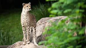 A cheetah gazing into the distance while standing on a rock during the Wild Africa Trek experience