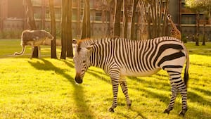 Uma zebra, um avestruz e 2 girafas pastando na savana do Disney's Animal Kingdom Lodge