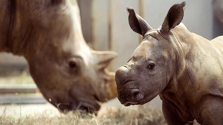 Un bebé rinoceronte en un recinto con un adulto pastoreando