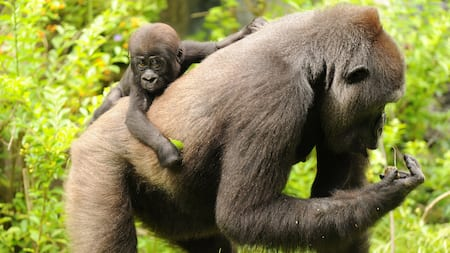 Baby gorilla hanging onto back of adult gorilla