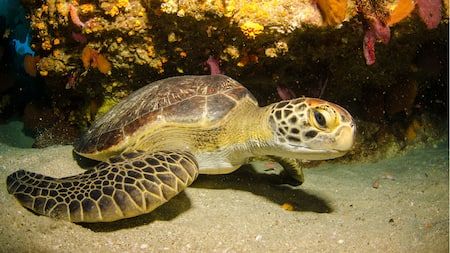 Loggerhead sea turtle at bottom of coral reef