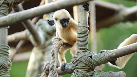 Small gibbons climb on a structure near the Kali River Rapids and the Maharajah Jungle Trek