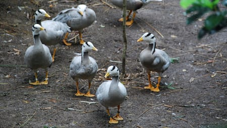 Bar-headed geese walking together