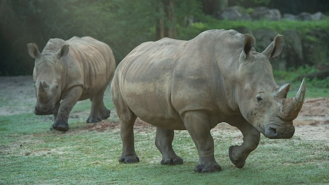 2 rhinoceroses run through a grassy habitat.