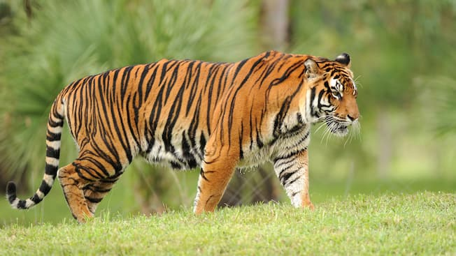 Beautiful orange and black-striped Asian tiger walking