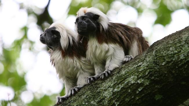 2 Sagui cabeça-de-algodão no galho de uma árvore