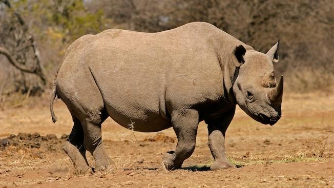 Un rhinocéros noir marche sur un sol sec.