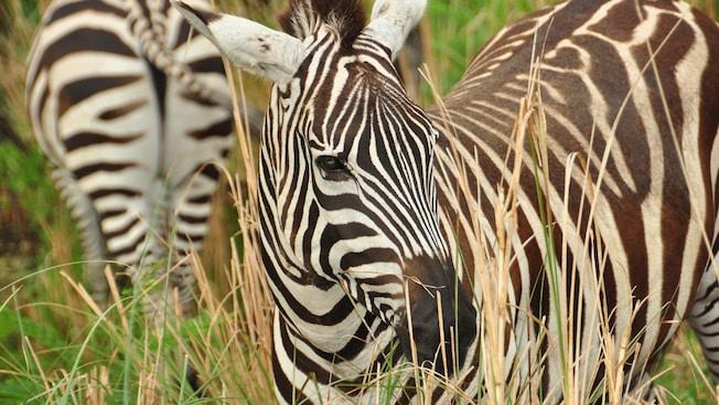 Dos cebras atraviesan un pastizal alto en el Parque Temático Disney's Animal Kingdom