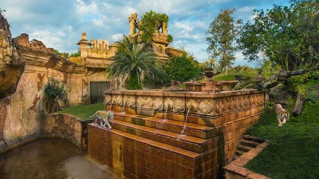 Dois tigres andam pelas ruínas do Maharajah Jungle Trek