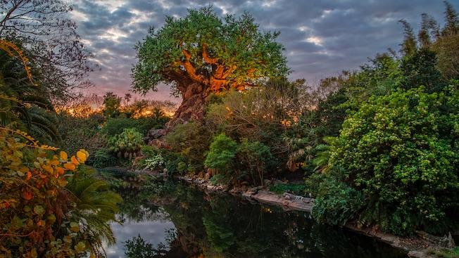 El árbol The Tree of Life a orillas del río Discovery River en el atardecer de un día nublado